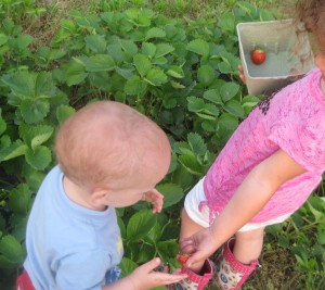 Picked a passel of strawberries before we left!